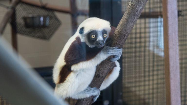 Sifaka lemur at the Duke Lemur center