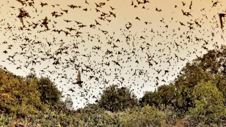 Bats at Bracken Cave in San Antonio.