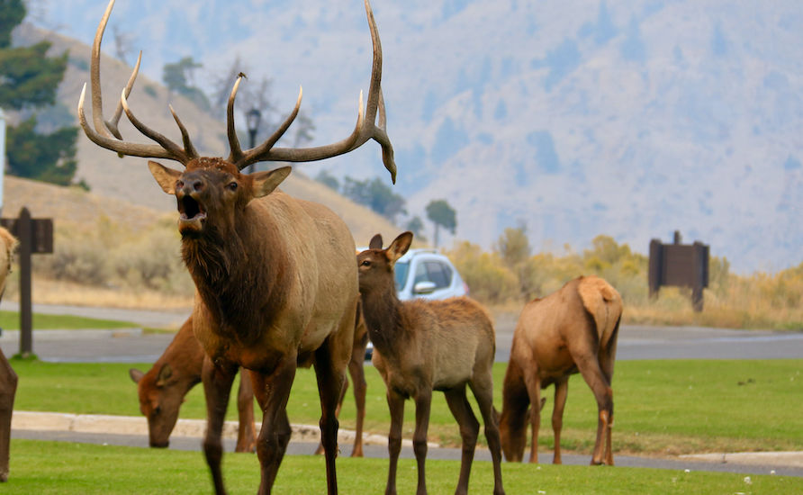 Elk in Yellowstone National Park. Photo by Douglas Scott.