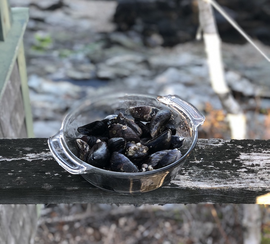 Wild mussels in Maine. Photo credit Katy Severson.