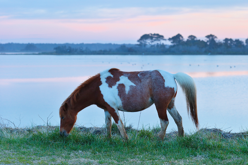 A wild horse gazing at Chincoteague National Wildlife Refuge, Virginia. Photo by Shutterstock.