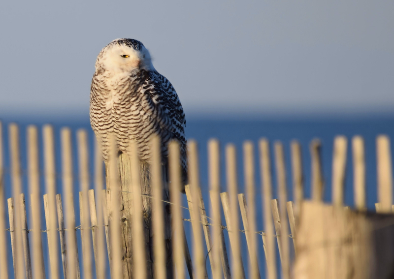 North American Snowy Owl Duxbury Beach Massachusetts. Photo by Shutterstock.
